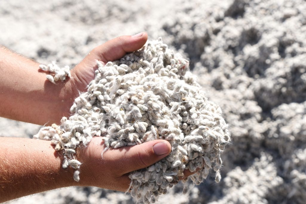 Cotton-seed